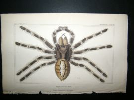 Cuvier C1835 Antique Hand Col Print. Spiders #1